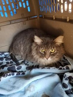 Maine Coon/Domestic Shorthair Mix Cat for adoption in Tucson, Arizona - Safe1