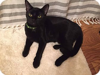 Domestic Shorthair Cat for adoption in Lexington, Kentucky - Beyonce