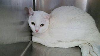 Domestic Mediumhair Cat for adoption in Cleveland, Oklahoma - Salt
