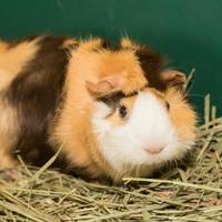 Adopt A Pet :: Biscuit - Lowell, MA