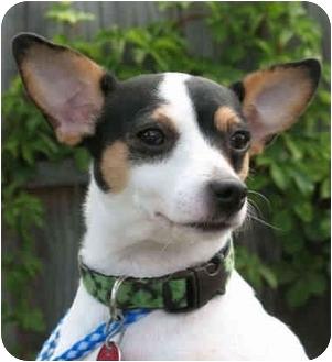 Jack Russell Terrier Dog for adoption in Kingwood, Texas - Nikki