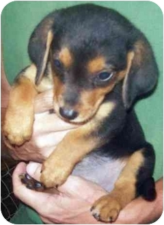 Dachshund Mix Puppy for adoption in Tahlequah, Oklahoma - AnnaMae,AnnaBelle,AnnaSue