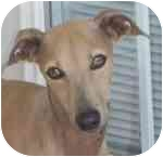 Italian Greyhound Dog for adoption in Oklahoma City, Oklahoma - Seattle