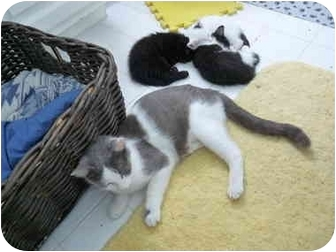 Domestic Shorthair Cat for adoption in Tomball, Texas - Jacqueline
