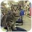 Photo 1 - Domestic Shorthair Kitten for adoption in Yorba Linda, California - Tika and Mocha