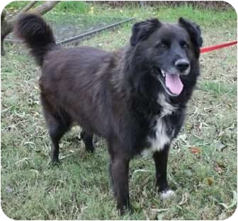 Newfoundland/Border Collie Mix Dog for adoption in Yuba City, California - Mr. Moose