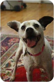Jack Russell Terrier/Rat Terrier Mix Dog for adoption in Hamburg, Pennsylvania - Misty