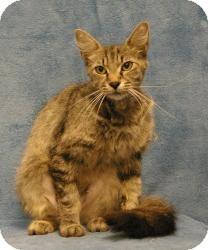 Oriental Cat for adoption in Sacramento, California - Sammy