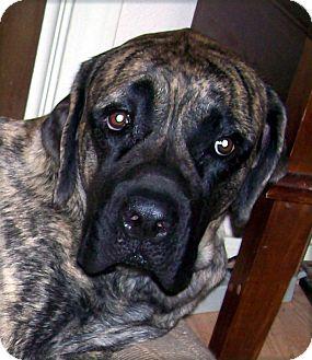 Mastiff Dog for adoption in Austin, Texas - Maiea