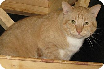 Domestic Shorthair Cat for adoption in Cardwell, Montana - Showboat