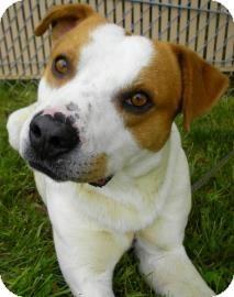 Pit Bull Terrier/Bulldog Mix Dog for adoption in Lincolnton, North Carolina - Hamlet