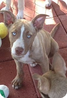 Husky Mix Puppy for adoption in Hammonton, New Jersey - Meatloaf