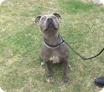 American Staffordshire Terrier/American Pit Bull Terrier Mix Dog for adoption in Calgary, Alberta - Radey