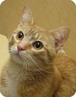 Domestic Shorthair Cat for adoption in Tulsa, Oklahoma - Mustard