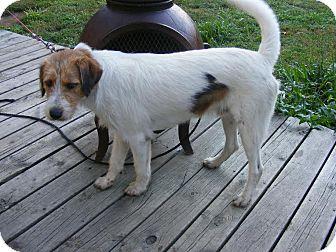 Wirehaired Pointing Griffon/Labrador Retriever Mix Puppy for adoption in Toledo, Ohio - Oscar