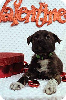 Labrador Retriever/Blue Heeler Mix Puppy for adoption in Westminster, Colorado - Esther