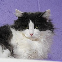 Domestic Mediumhair Cat for adoption in Atlanta, Georgia - Rosemary 12281