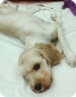 Cockapoo Mix Dog for adoption in Ft Myers Beach, Florida - Last chance!! help!