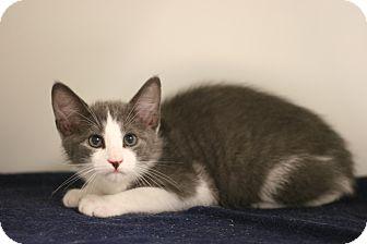 American Bobtail Kitten for adoption in Staunton, Virginia - Kody