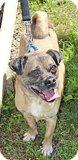Pug Mix Dog for adoption in Spring City, Pennsylvania - Jerry
