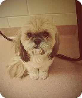 Shih Tzu Mix Dog for adoption in Columbus, Georgia - Tiffany 3474