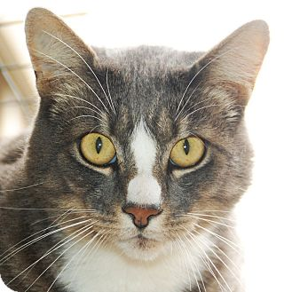 Domestic Shorthair Cat for adoption in Port Angeles, Washington - Russell