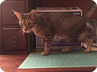 Domestic Mediumhair Cat for adoption in Balto, Maryland - Buddy