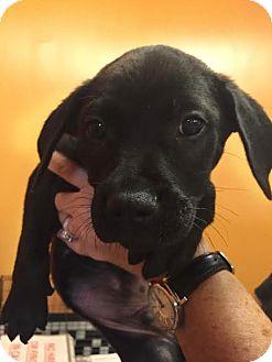 Labrador Retriever Mix Puppy for adoption in Boca Raton, Florida - T-Bone