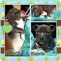 Adopt A Pet :: Chuck Norris - Sacramento, CA