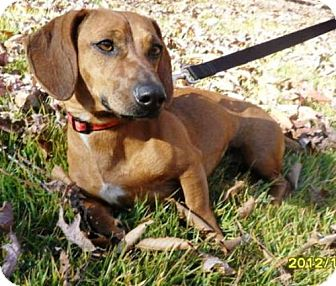 Dachshund Dog for adoption in Dover, Tennessee - Scarlette