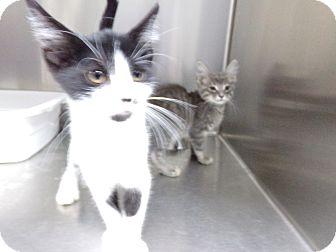 Domestic Shorthair Kitten for adoption in Osceola, Arkansas - MORE KITTENS