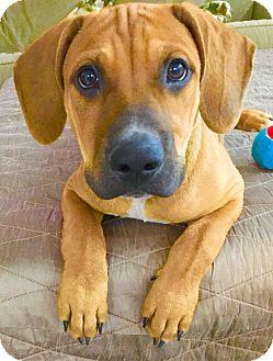 Rhodesian Ridgeback/Black Mouth Cur Mix Dog for adoption in Scottsdale, Arizona - Archie