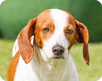 Beagle Mix Dog for adoption in Dallas, Texas - Penny