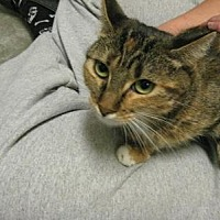 Domestic Shorthair Cat for adoption in Logan, Utah - Padme