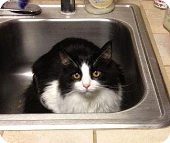 Domestic Mediumhair Cat for adoption in Vacaville, California - Jake