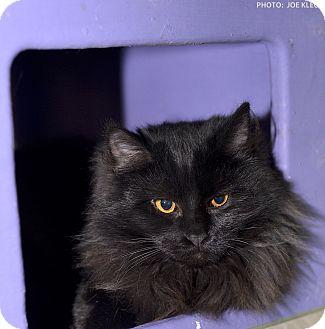 Domestic Mediumhair Cat for adoption in Medina, Ohio - Fritz