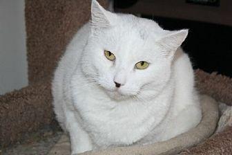 Domestic Shorthair Cat for adoption in Ephrata, Pennsylvania - Evie