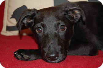 Labrador Retriever/Shepherd (Unknown Type) Mix Puppy for adoption in Minot, North Dakota - Merlin