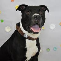American Pit Bull Terrier Mix Dog for adoption in Wantagh, New York - Olaf