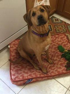 Bloodhound Mix Dog for adoption in West Palm Beach, Florida - Bella