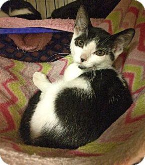 Domestic Shorthair Kitten for adoption in East Brunswick, New Jersey - Rocket