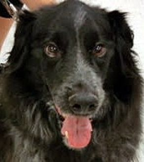 Collie Mix Dog for adoption in Las Vegas, Nevada - Brody