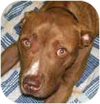 American Staffordshire Terrier Mix Dog for adoption in Troy, Michigan - Mel
