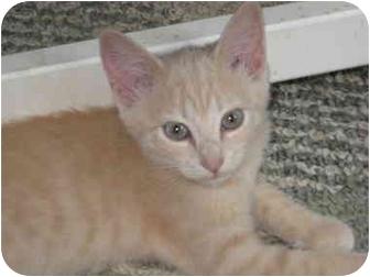 Domestic Shorthair Kitten for adoption in Charlotte, North Carolina - Honey