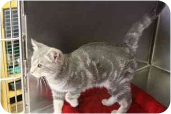 Domestic Shorthair Cat for adoption in McDonough, Georgia - Vance
