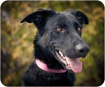 Labrador Retriever/Husky Mix Puppy for adoption in Ile-Perrot, Quebec - NAYA