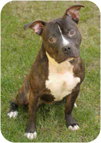 American Staffordshire Terrier/Pit Bull Terrier Mix Dog for adoption in Chicago, Illinois - Captain Jack
