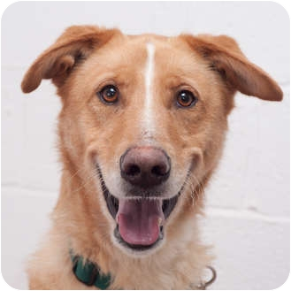Collie Mix Dog for adoption in Westfield, New York - Tommy