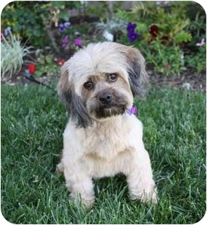Shih Tzu Mix Dog for adoption in Newport Beach, California - MELISSA
