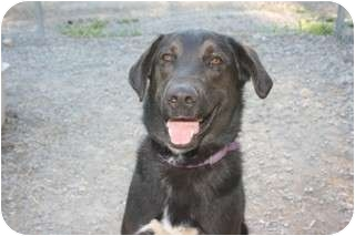 German Shepherd Dog/Irish Wolfhound Mix Dog for adoption in Libby, Montana - Alley